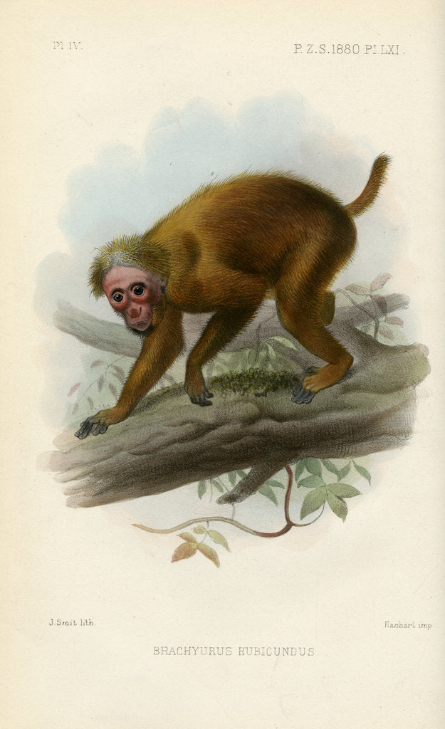 Detail of Bald uakari by Joseph Smit