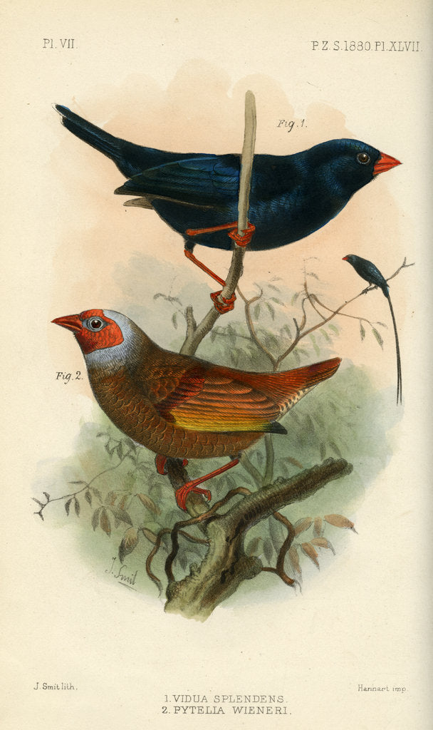 Detail of Indigobird and pytelia by Joseph Smit