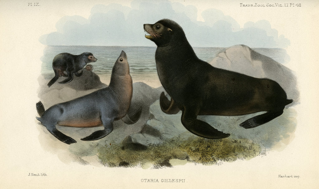 Detail of California sea lion by Joseph Smit
