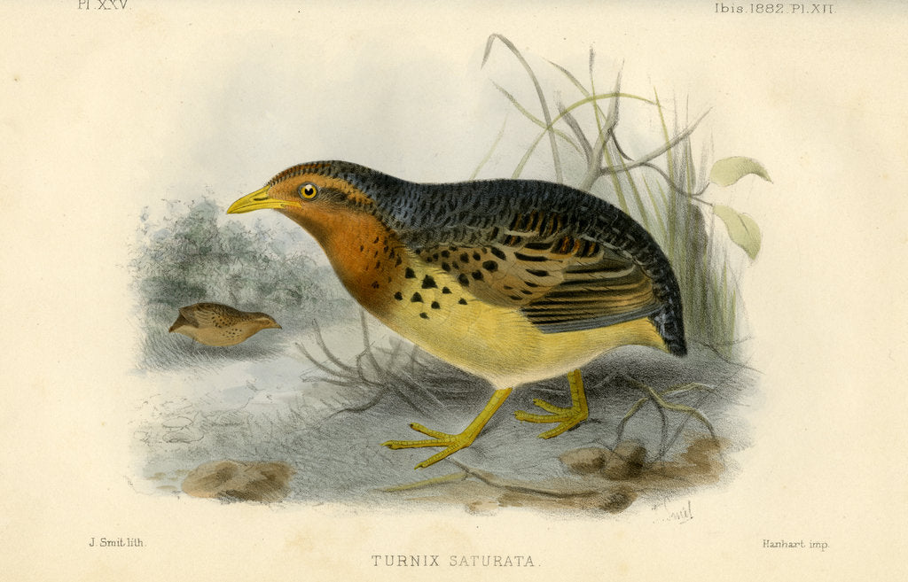 Detail of Red-backed button quail by Joseph Smit