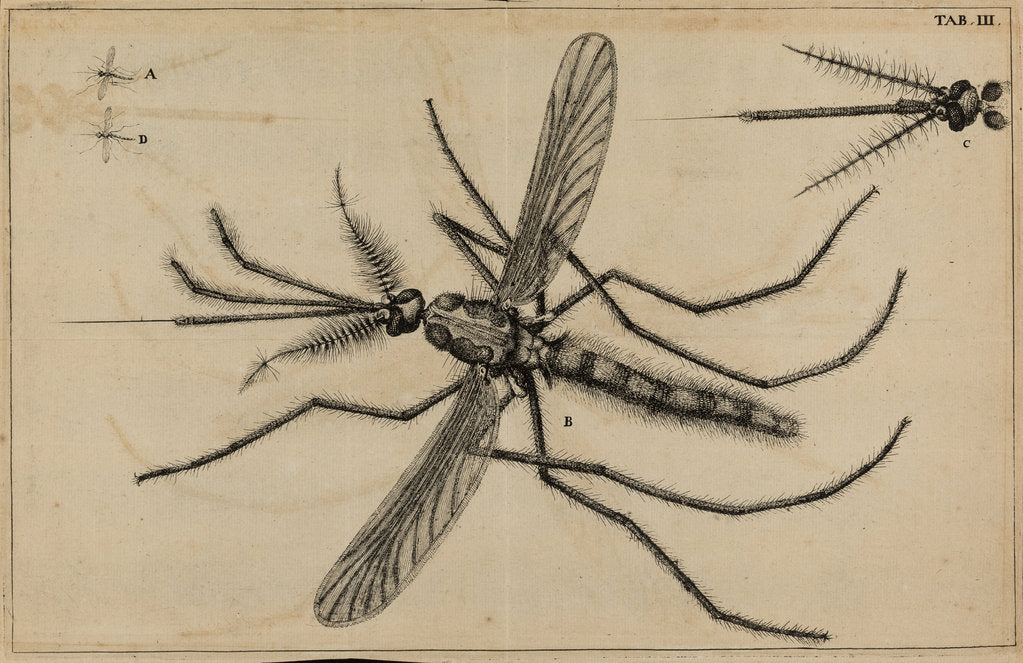 Detail of Mosquito by Jan Swammerdam