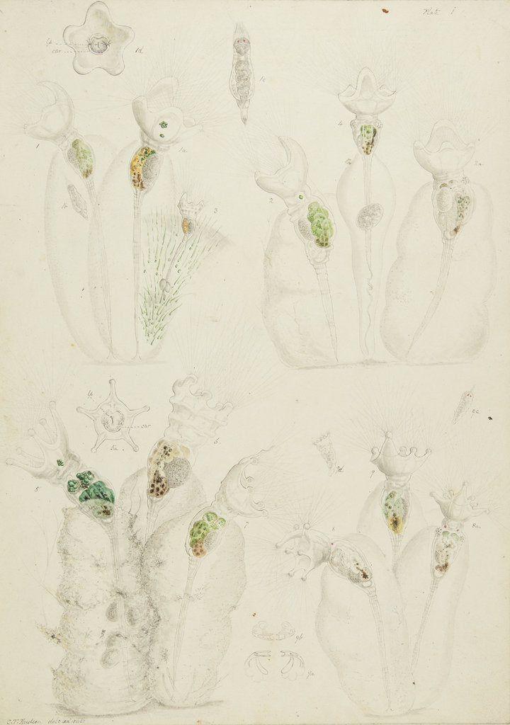 Detail of Collotheca rotifers by Charles Thomas Hudson