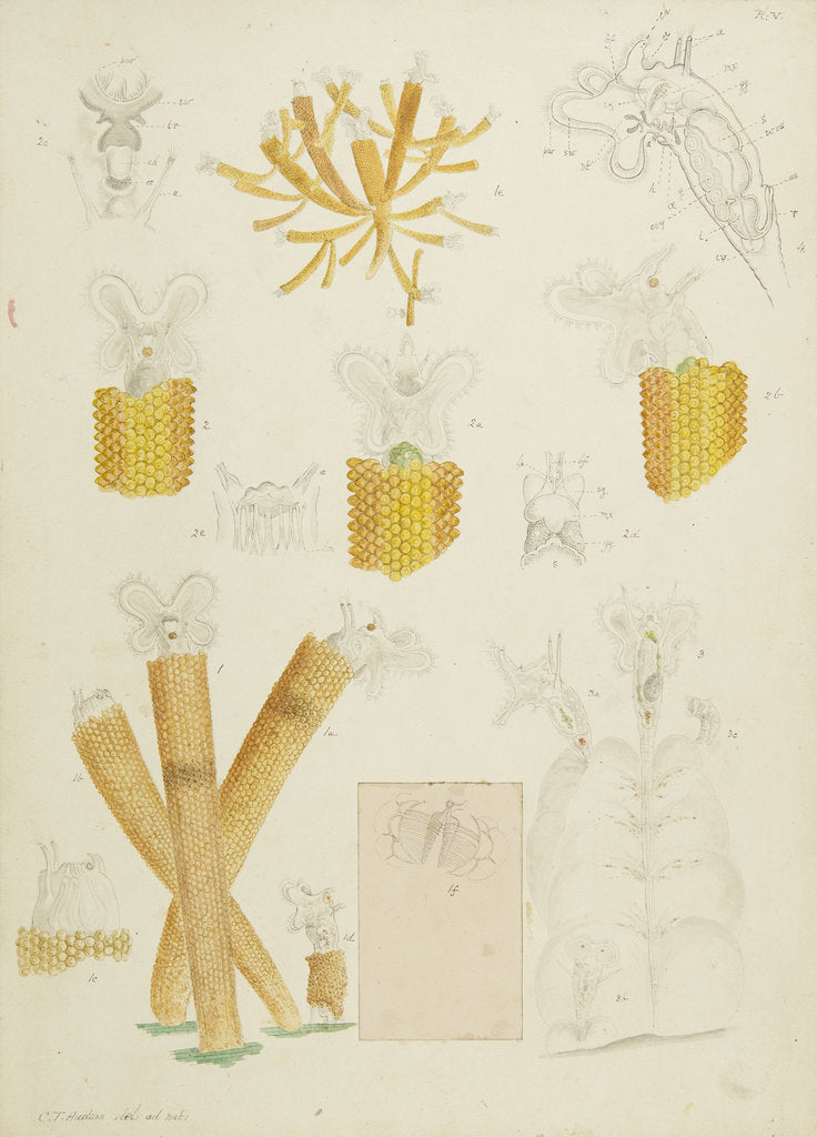 Detail of Floscularia rotifers by Charles Thomas Hudson