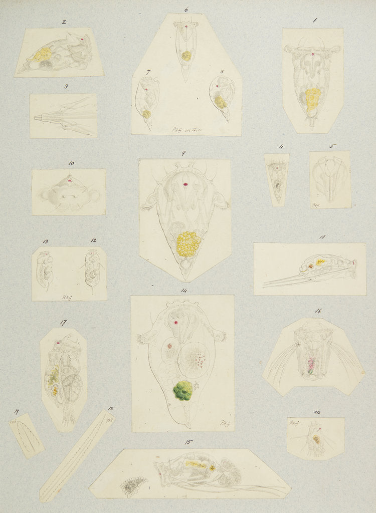 Rotifer by Charles Thomas Hudson