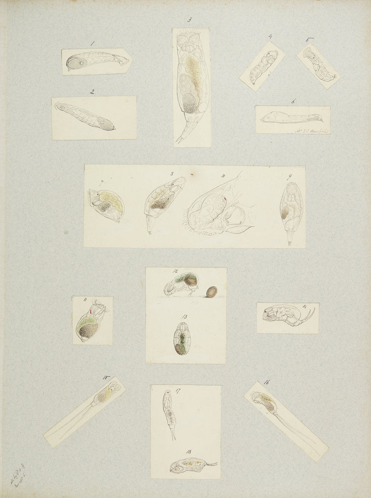 Detail of Rotifer by Charles Thomas Hudson