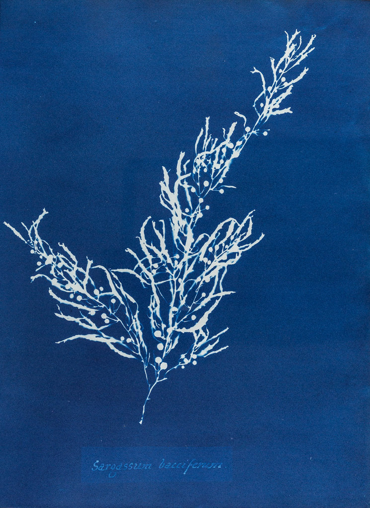 Detail of Sargassum bacciferum by Anna Atkins