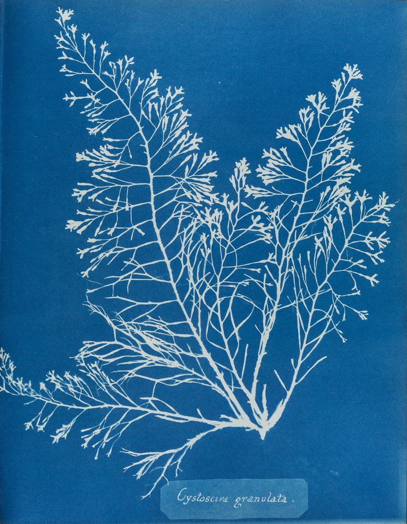 Detail of Cystoseira granulata by Anna Atkins