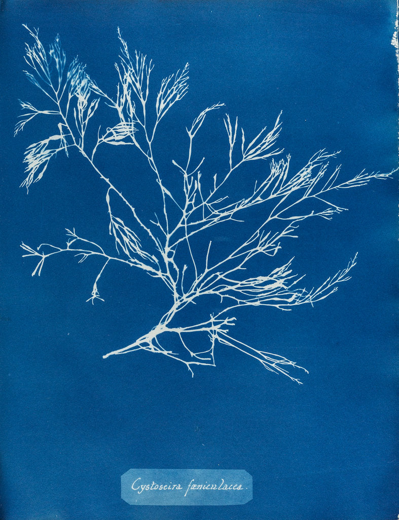 Detail of Cystoseira faeniculacea by Anna Atkins