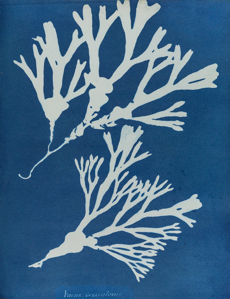 Detail of Fucus vesiculosus by Anna Atkins