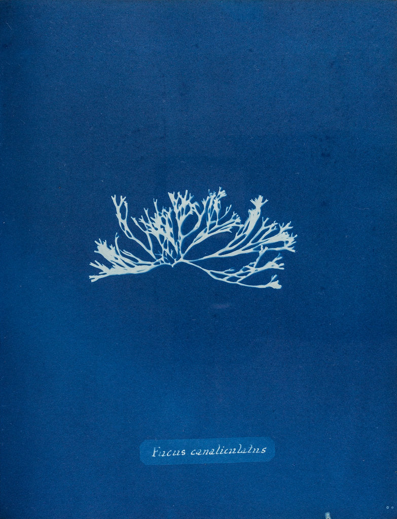 Detail of Fucus canaliculatus by Anna Atkins