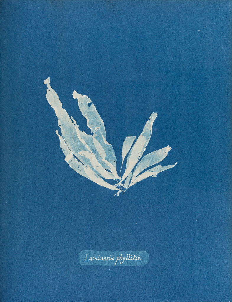 Detail of Laminaria phyllitis by Anna Atkins