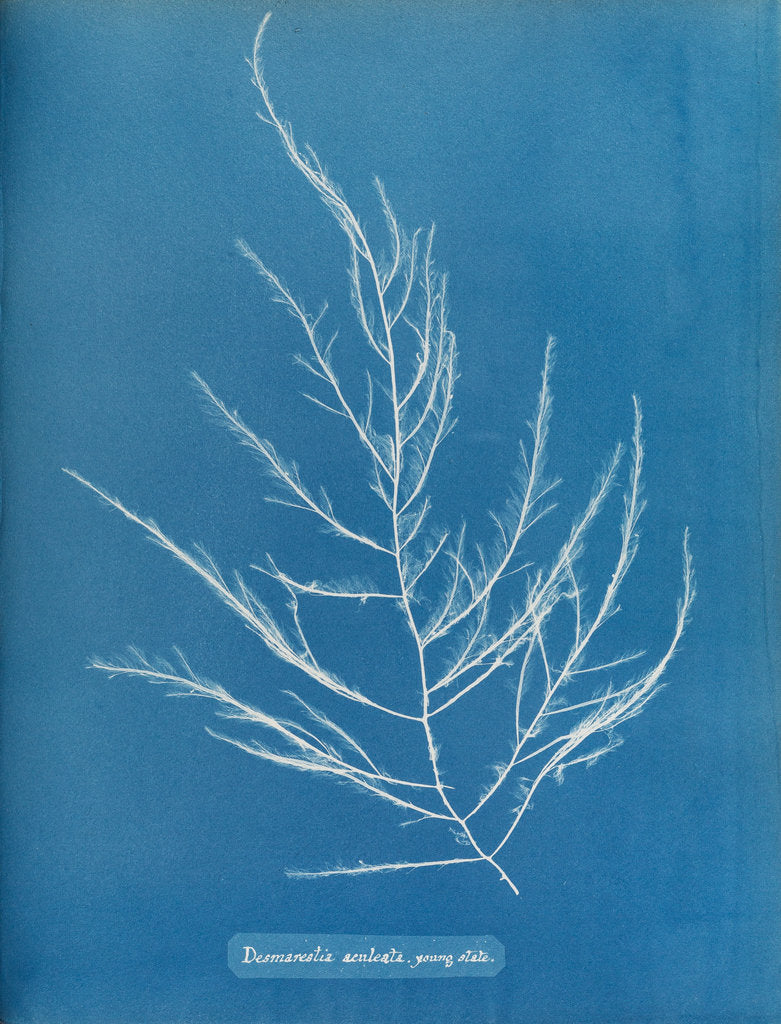 Detail of Sea sorrel by Anna Atkins