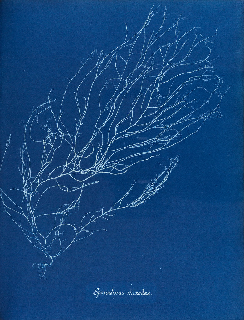 Detail of Sporochnus rhizodes by Anna Atkins