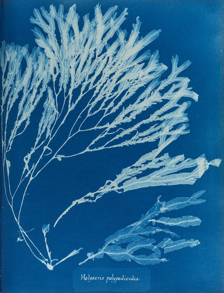 Detail of Halyseris polypodioides by Anna Atkins