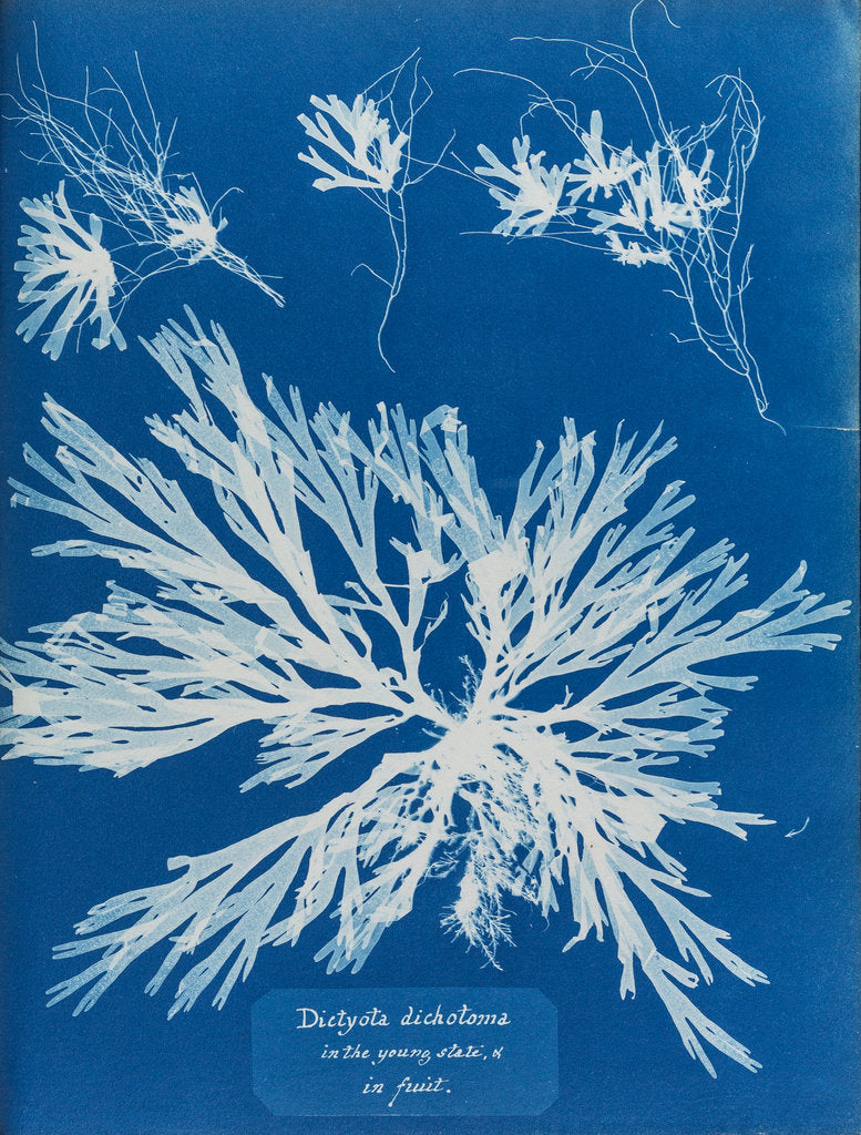Detail of Dictyota dichotoma by Anna Atkins