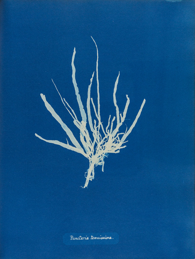 Detail of Punctaria tenuissima by Anna Atkins
