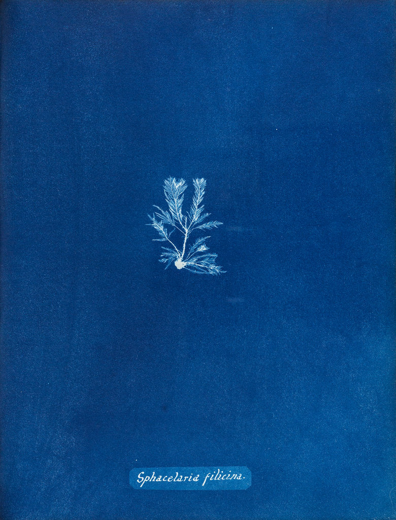Detail of Sphacelaria filicina by Anna Atkins