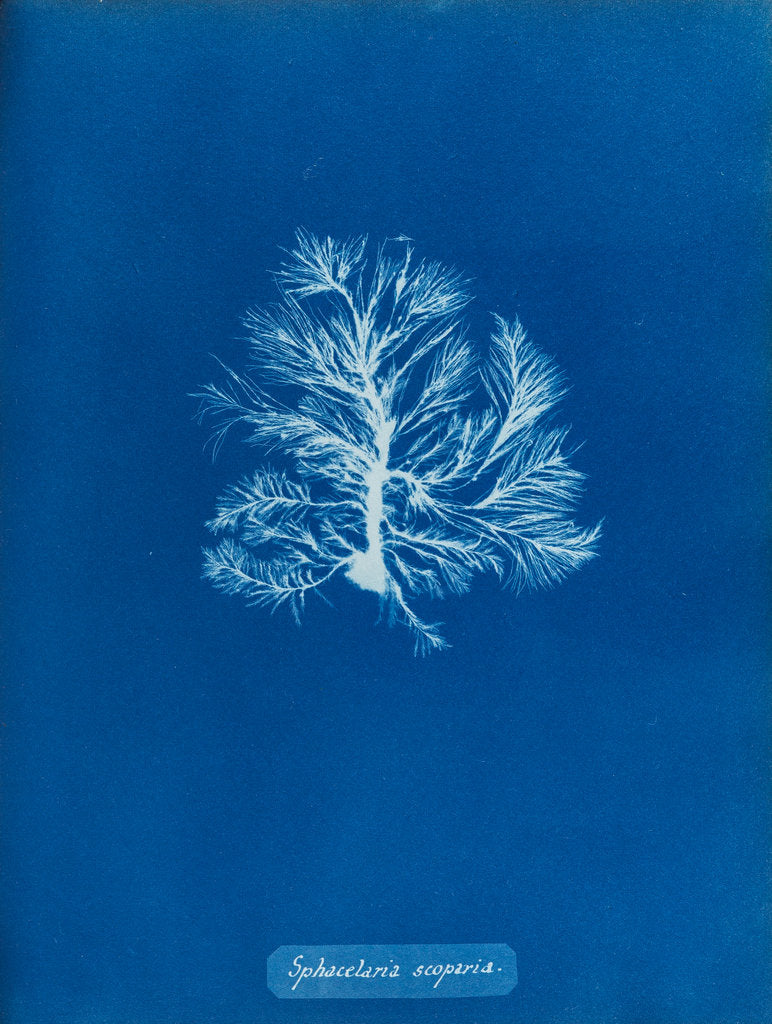 Detail of Sphacelaria scoparia by Anna Atkins
