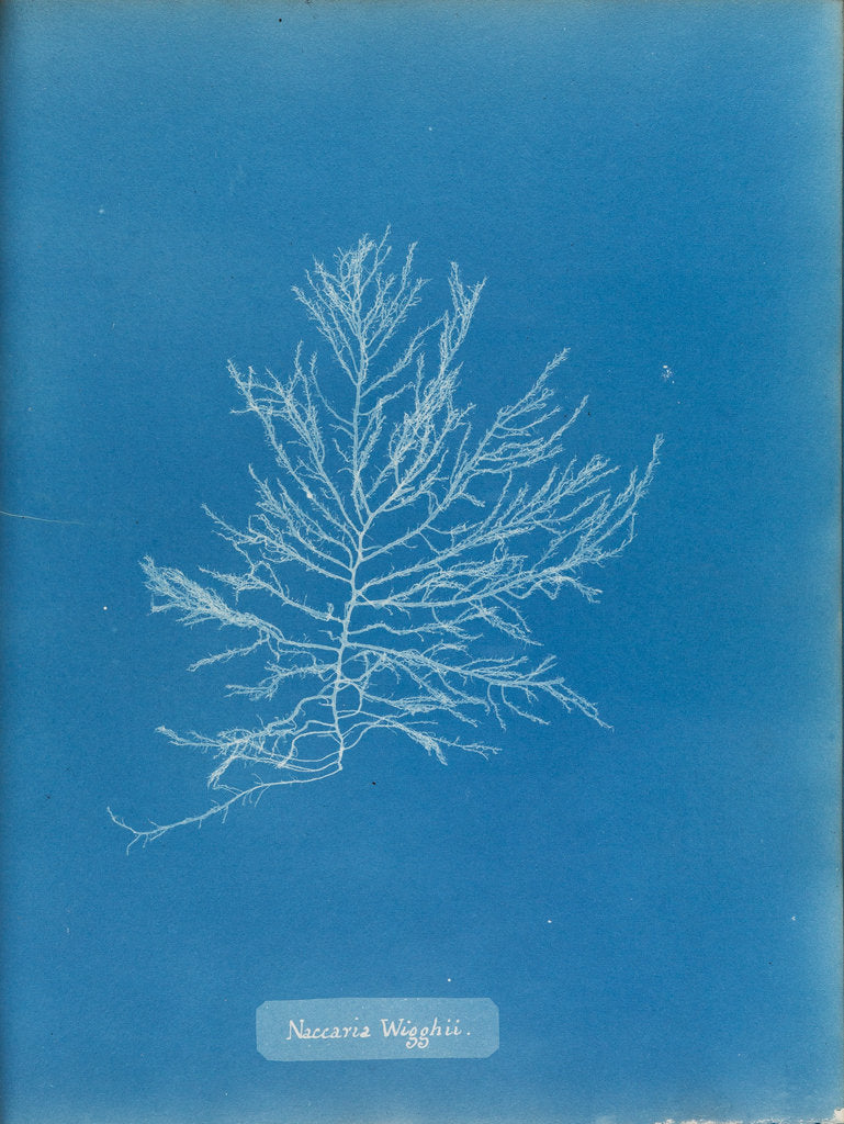 Detail of Naccaria wigghii by Anna Atkins