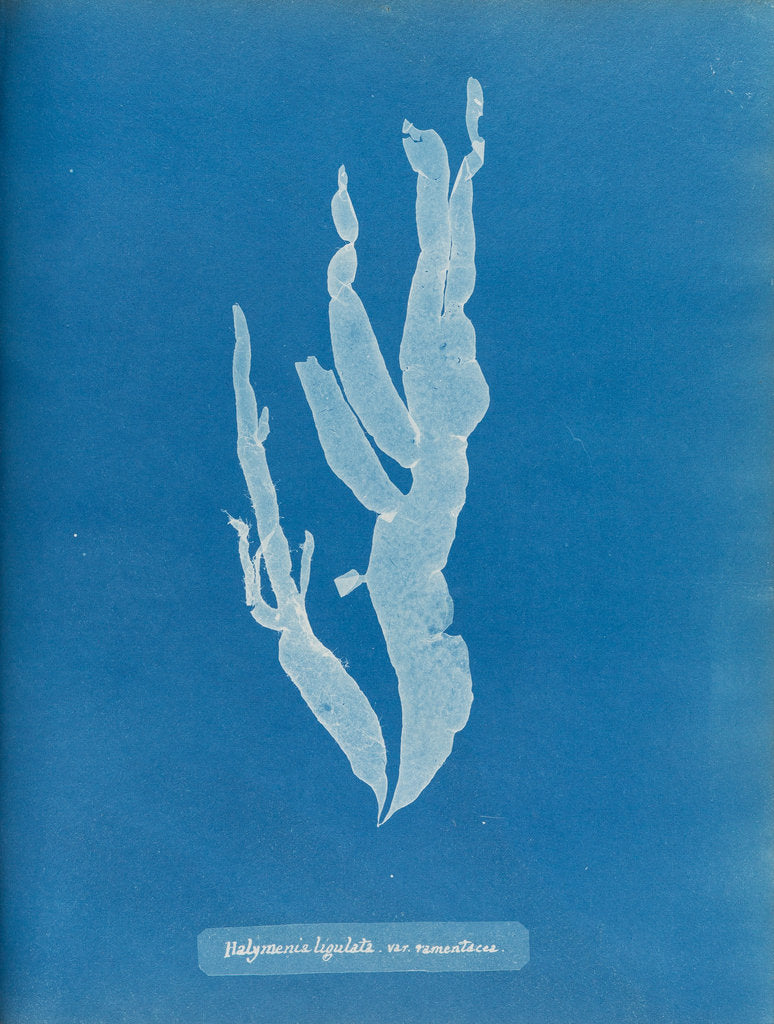 Detail of Sea spider weed by Anna Atkins