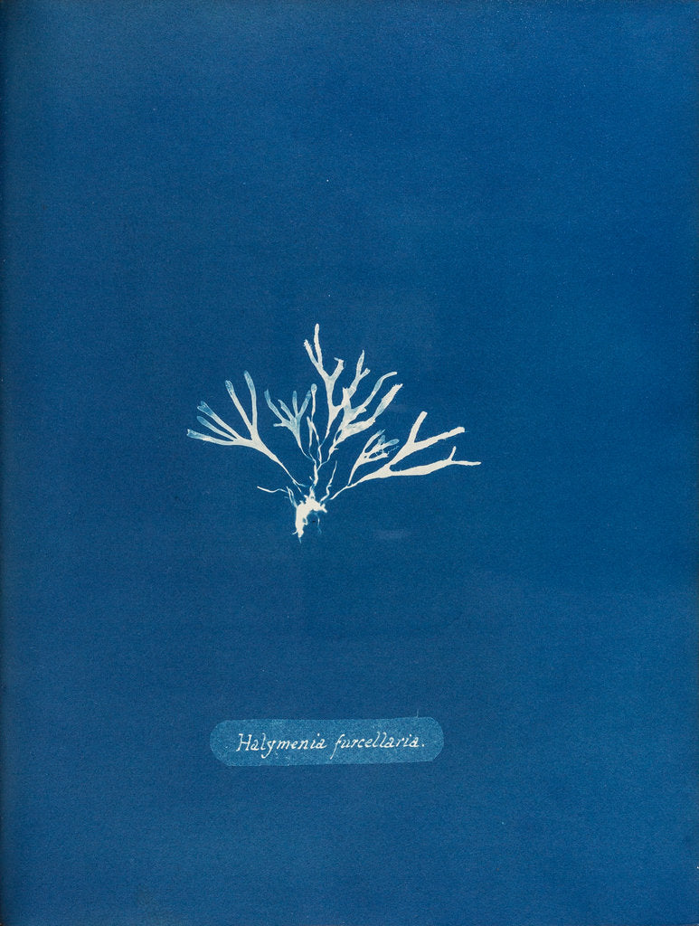 Halymenia furcellaria by Anna Atkins