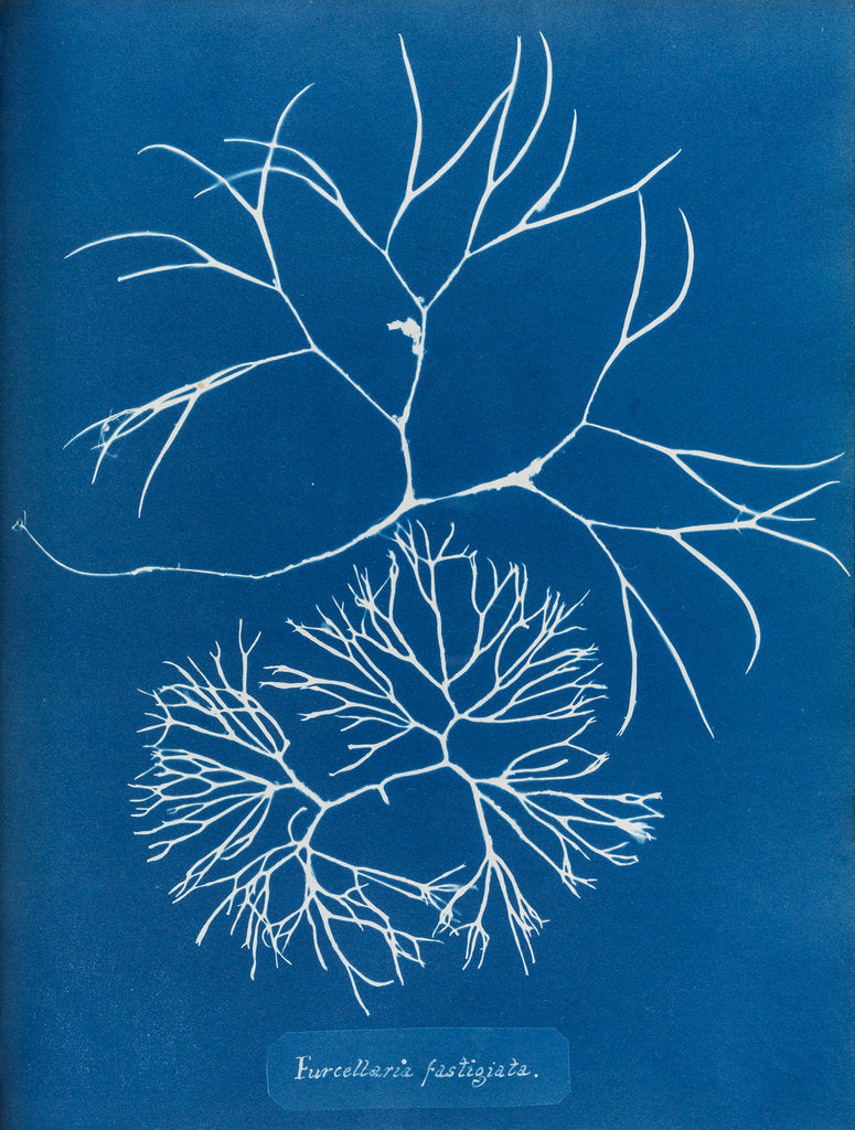 Detail of Furcellaria fastigiata by Anna Atkins