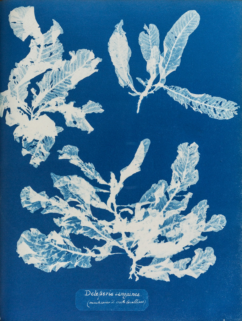 Detail of Sea beech by Anna Atkins