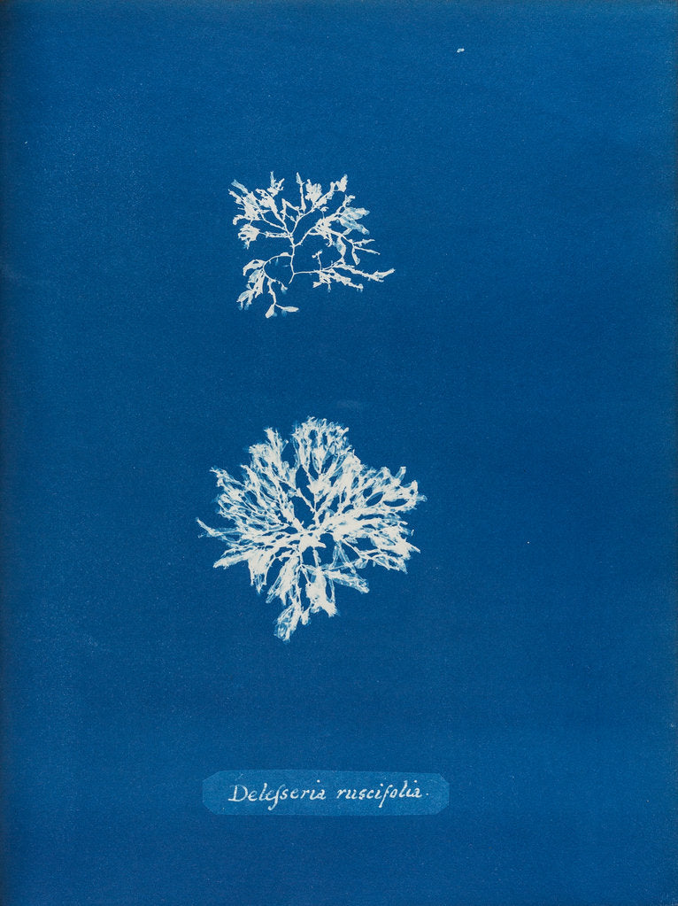 Detail of Delesseria ruscifolia by Anna Atkins