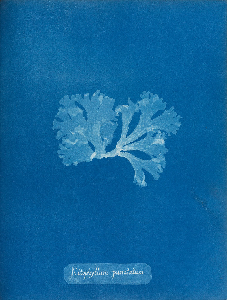 Detail of Spotted scarf weed by Anna Atkins