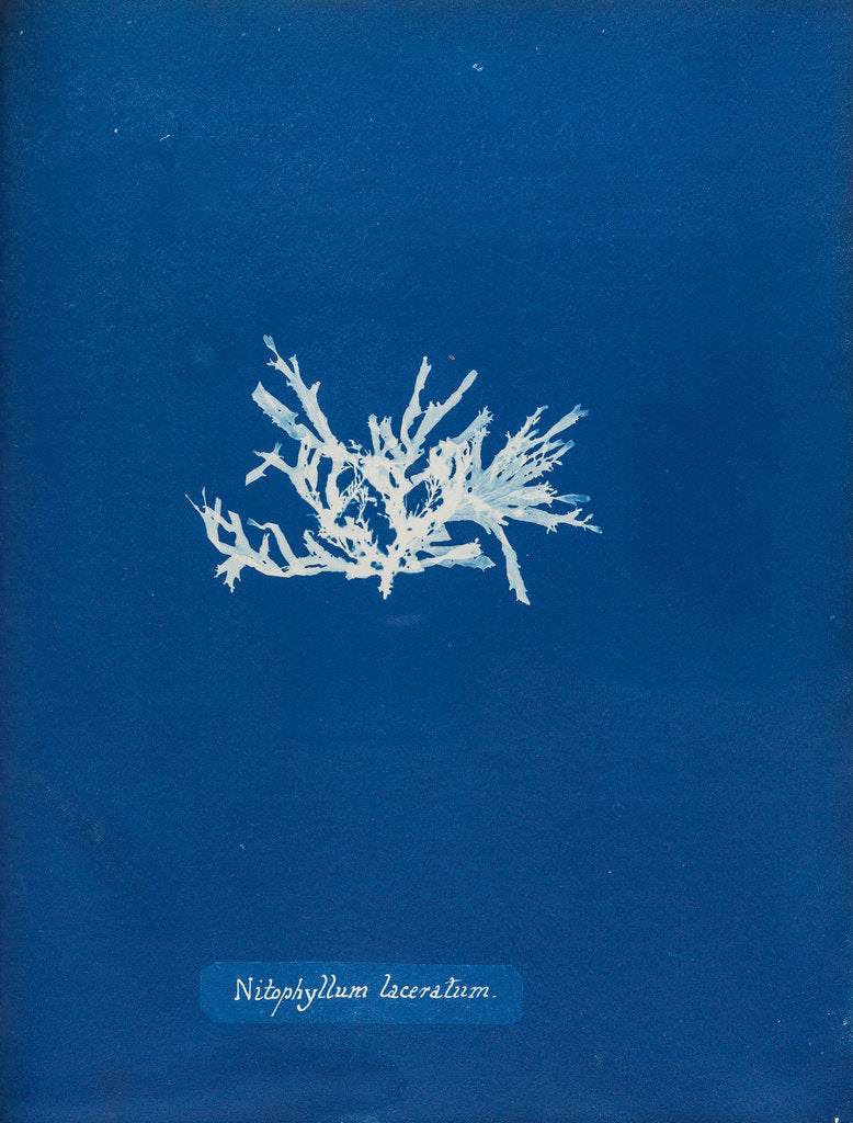 Detail of Nitophyllum laceratum by Anna Atkins