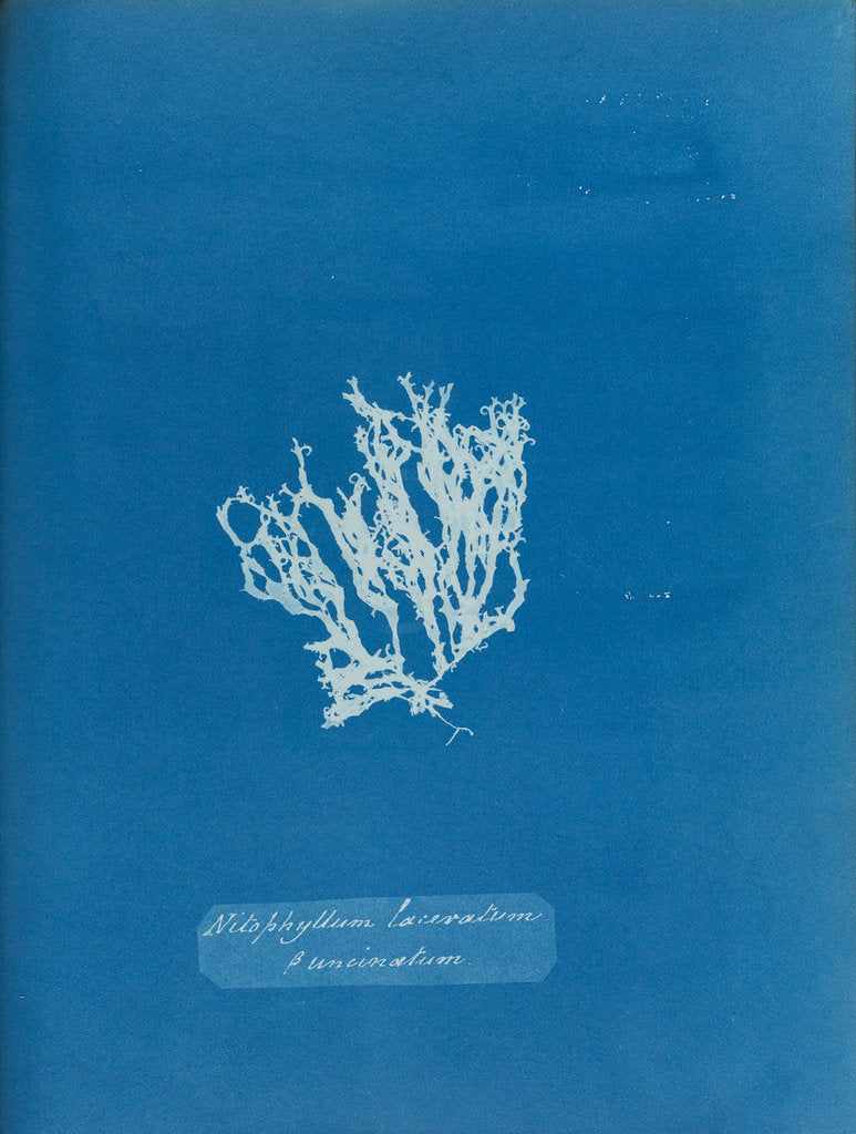 Detail of Nitophyllum laceratum & uncinatum by Anna Atkins