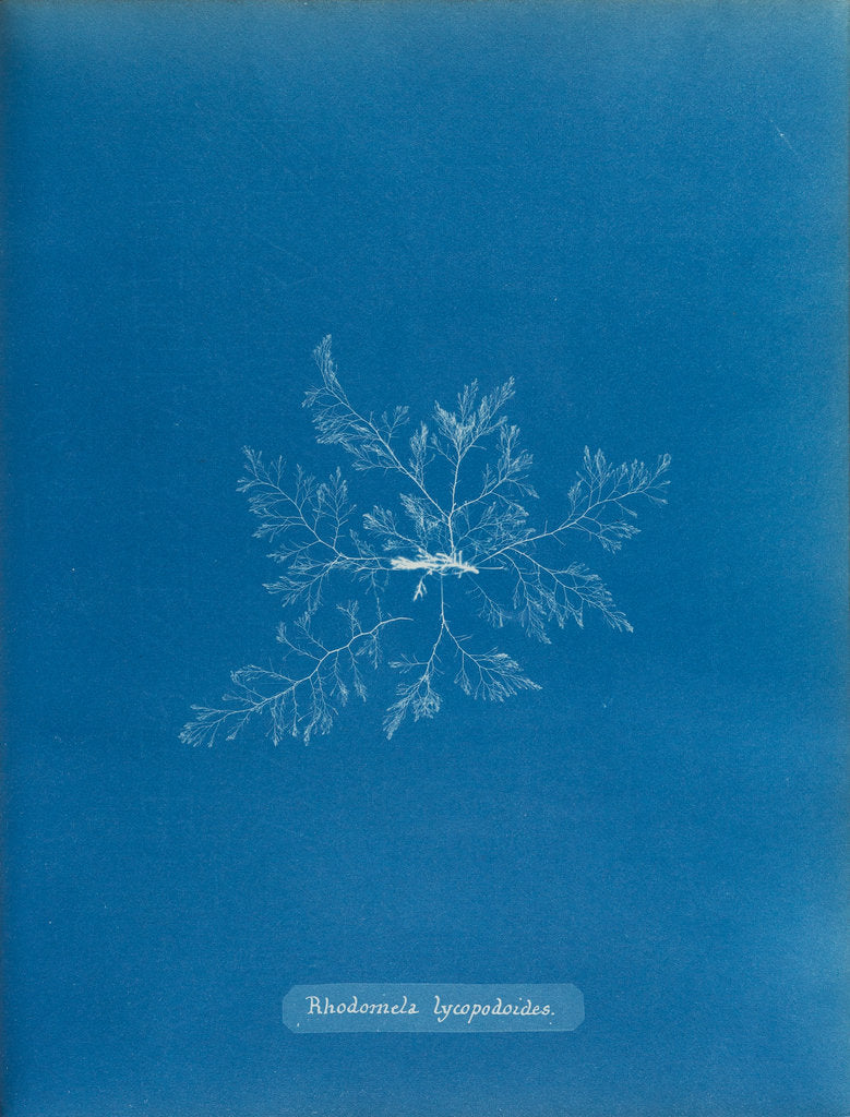 Detail of Straggly tail weed by Anna Atkins
