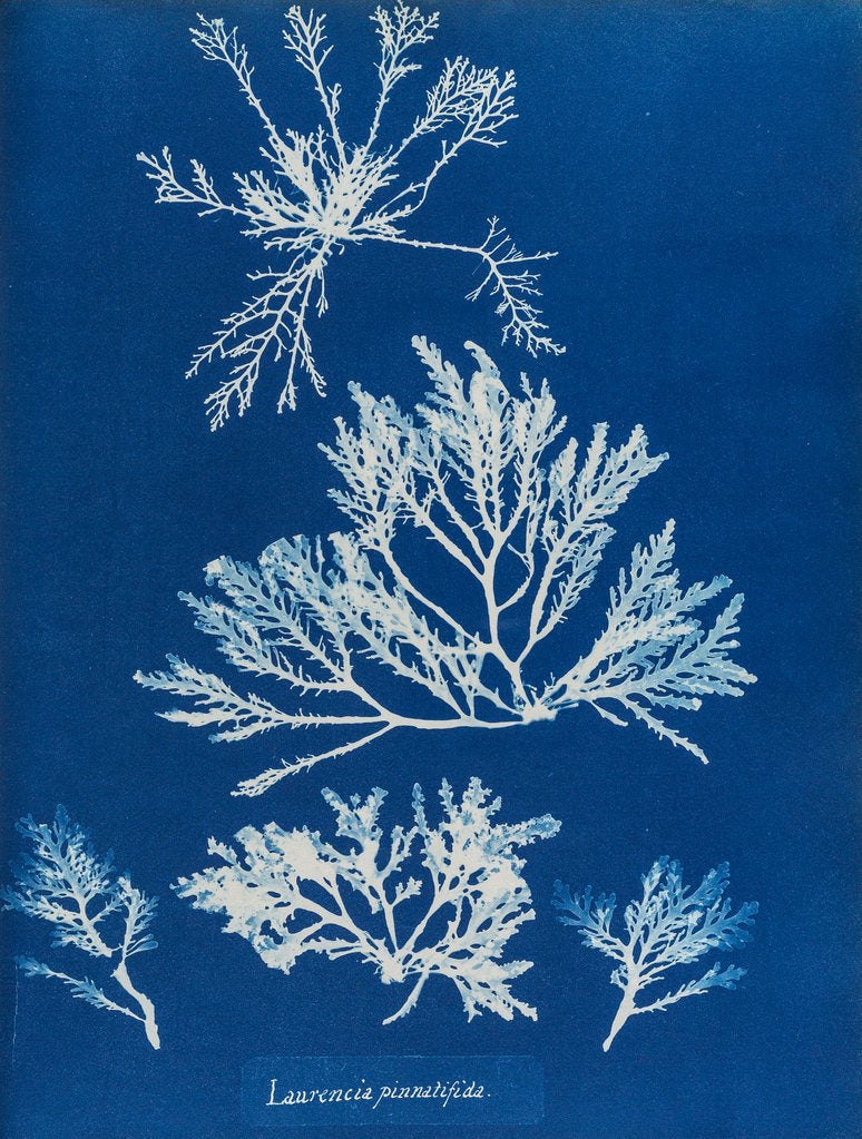 Detail of Pepper dulse by Anna Atkins