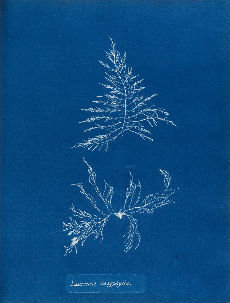 Detail of Laurencia dasyphylla by Anna Atkins