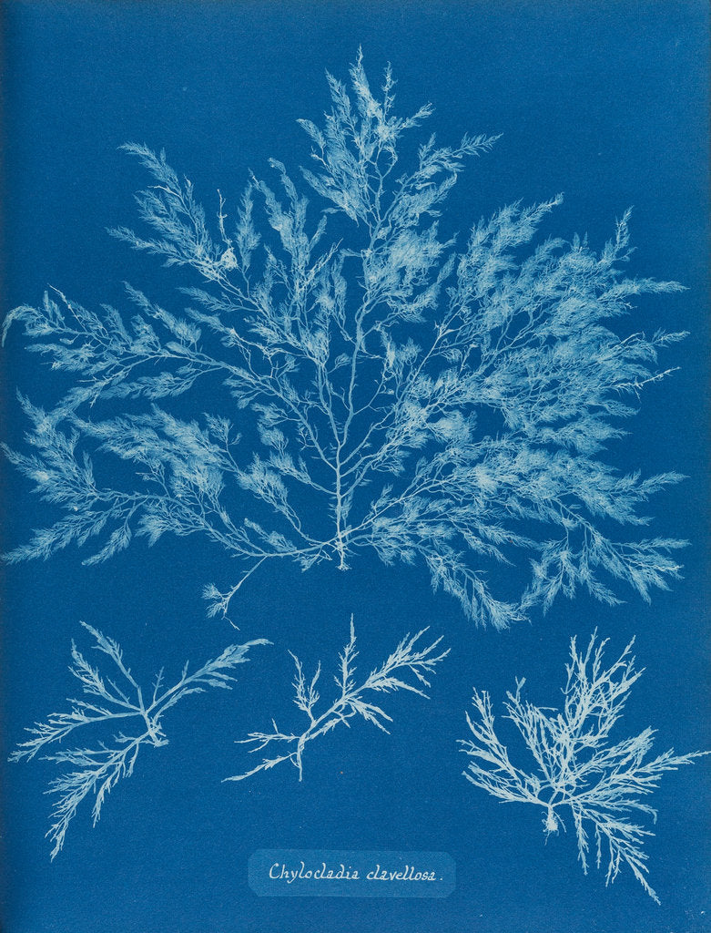 Detail of Chylocladia clavellosa by Anna Atkins