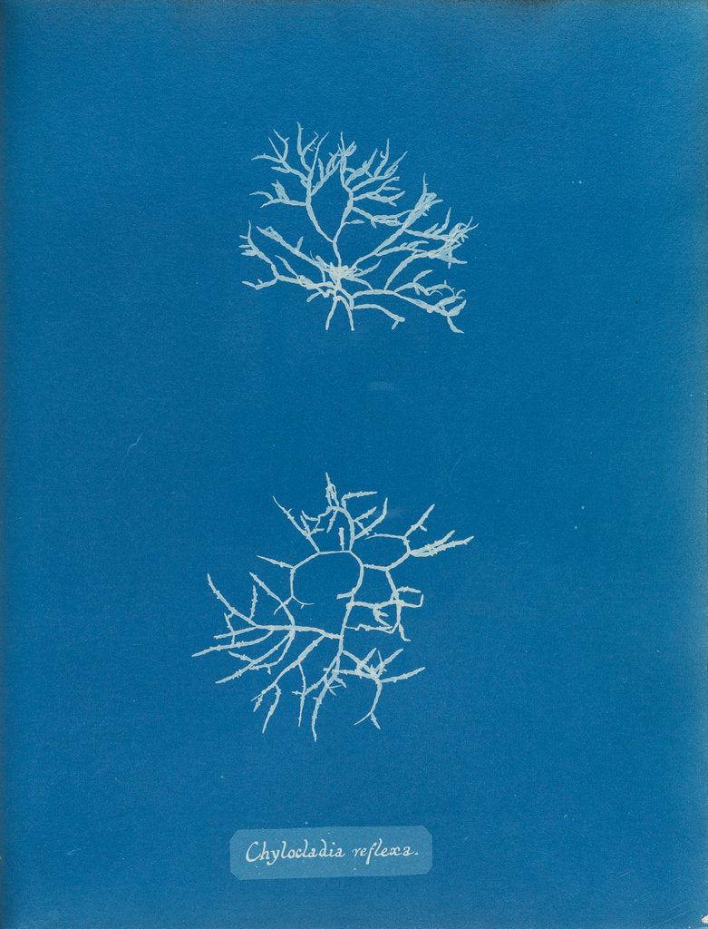 Detail of Chylocladia reflexa by Anna Atkins