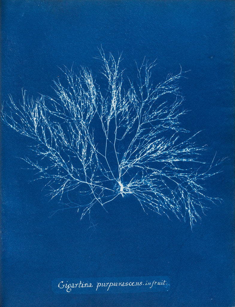 Detail of Gigartina purpurascens (in fruit) by Anna Atkins