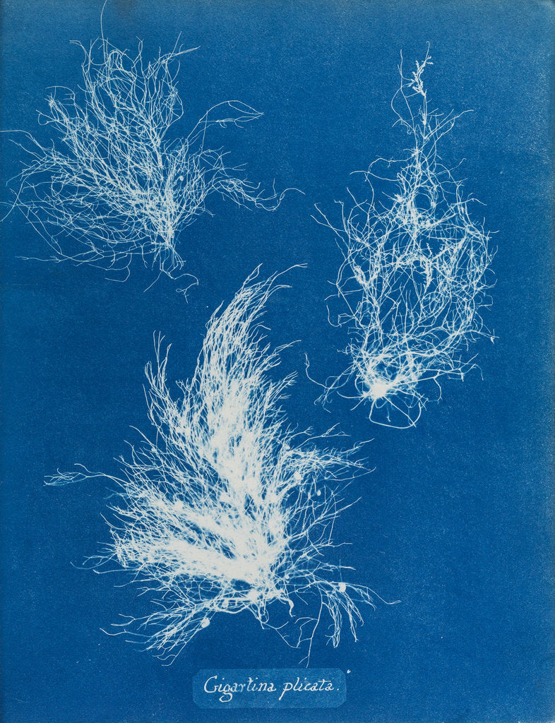 Detail of Gigartina plicata by Anna Atkins