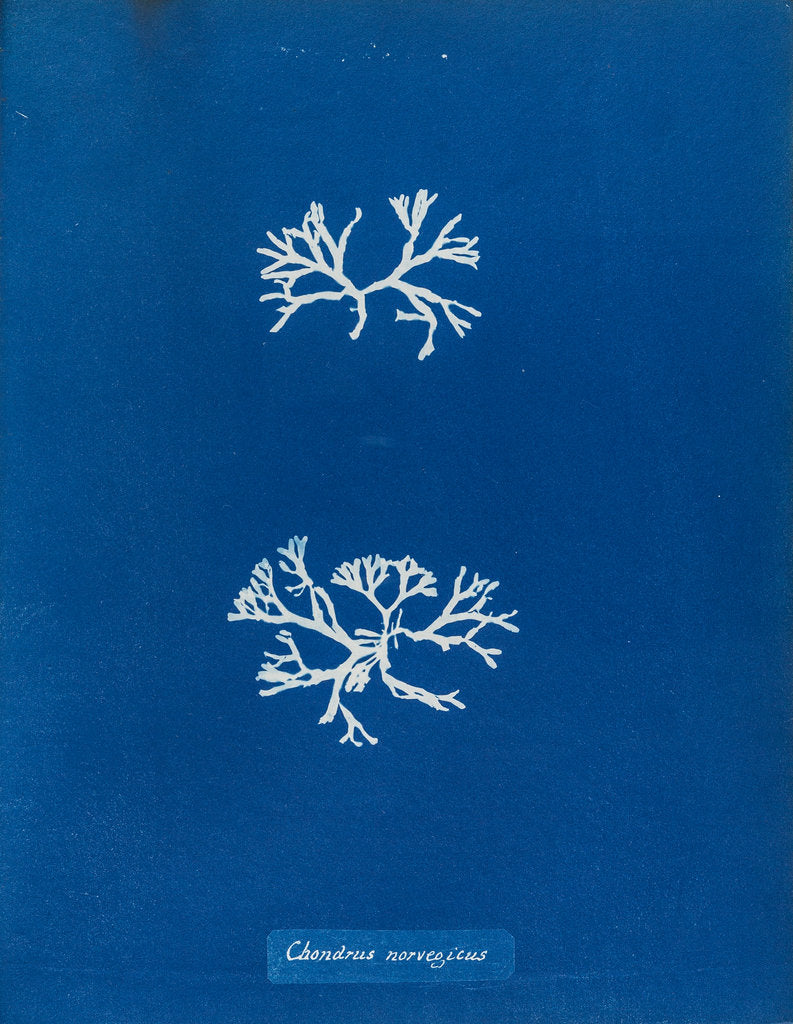 Detail of Chrondrus norvegicus by Anna Atkins