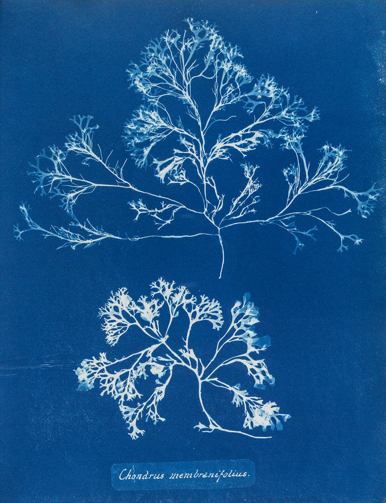 Detail of Chondrus membranifolius by Anna Atkins