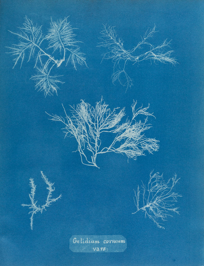 Detail of Gelidium corueum vars by Anna Atkins