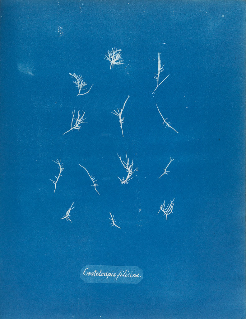 Detail of Grateloupia filicina by Anna Atkins