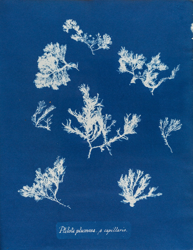Detail of Ptilota plumosa & capillaris by Anna Atkins