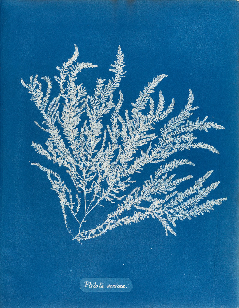 Detail of Ptilota sericea by Anna Atkins
