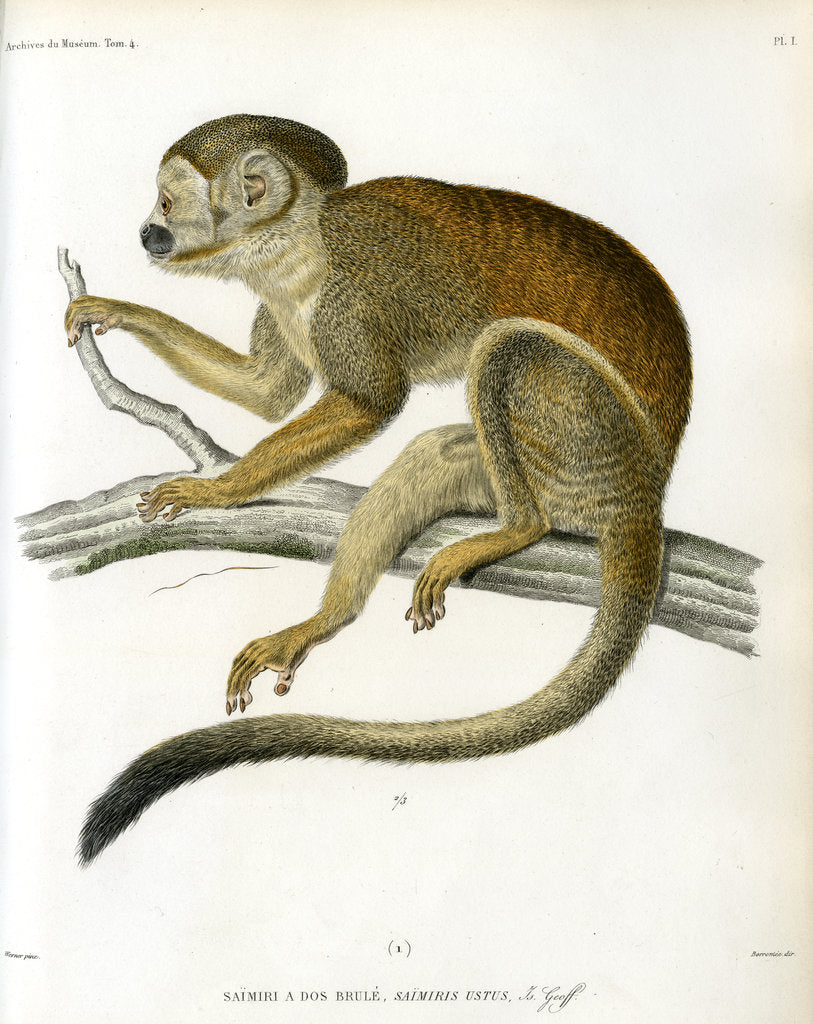 Detail of Bare-eared squirrel monkey by Borromée