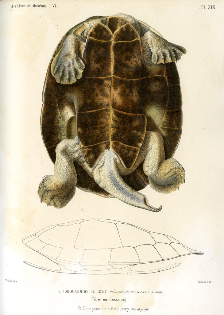 Detail of Magdalena river turtle by Léon Louis Vaillant