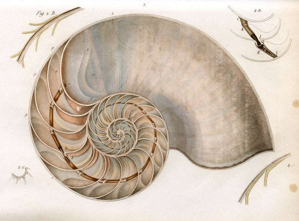 Detail of Nautilus by unknown