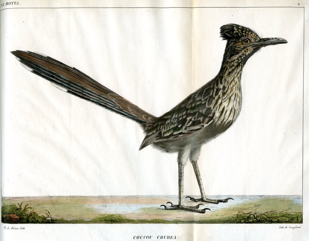 Detail of Greater roadrunner by Bièvre
