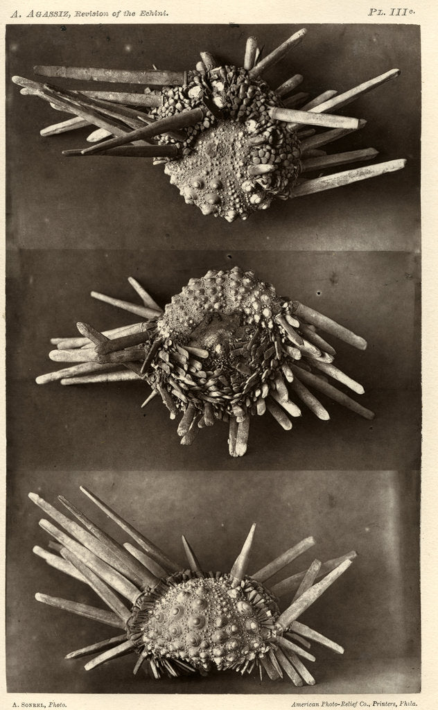 Detail of Red slate pencil urchin by American Photo Relief Printing Company
