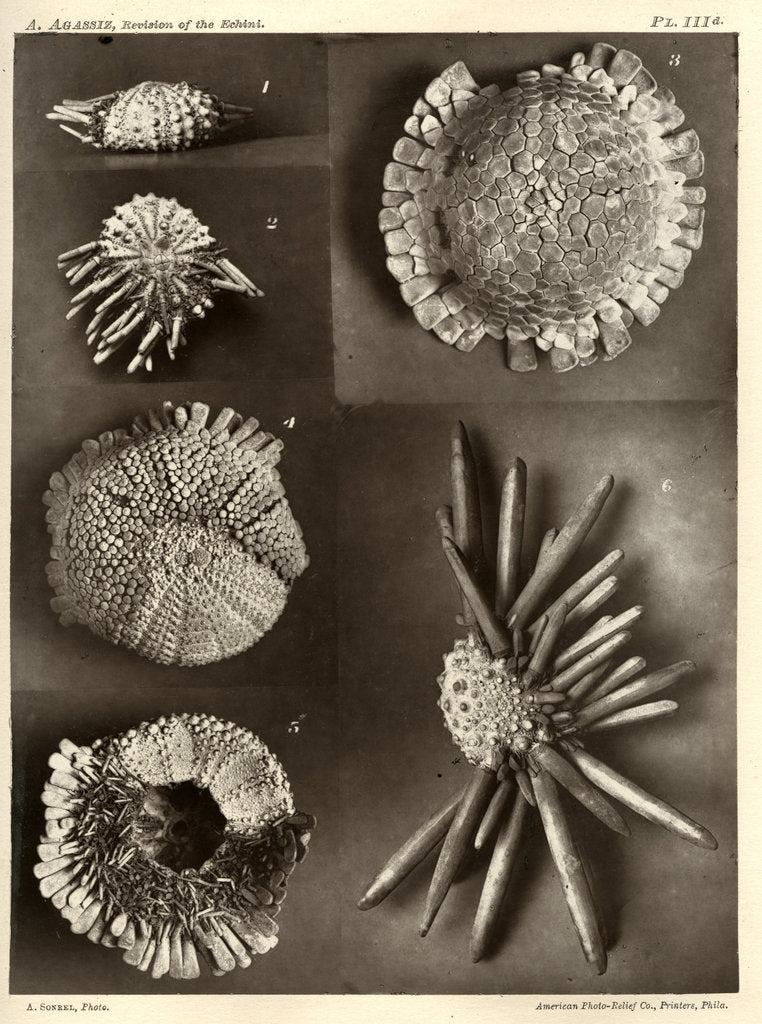 Detail of Sea urchins by American Photo Relief Printing Company